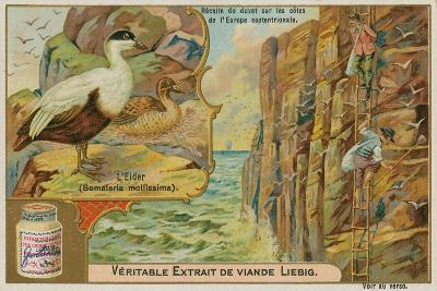 Eider Duck; Gathering Eider Down on a Northern European Coast--Giclee Print