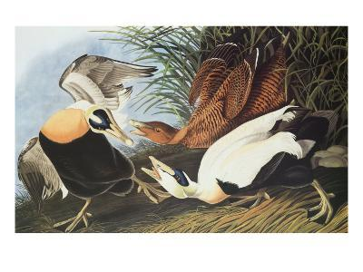 Eider Duck-John James Audubon-Art Print