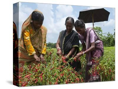 Female Farmer Harvesting Red Chili, Koch Bihar, West Bengal, India, Asia