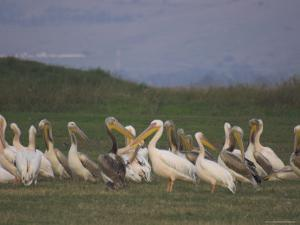 Group of Pelicans Resting on the Ground at Dusk, Galilee Panhandle, Middle East by Eitan Simanor