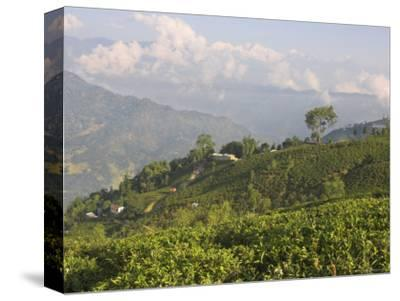 Singtom Tea Garden, Snowy and Cloudy Kandchengzonga Peak in Background, Darjeeling, Himalayas