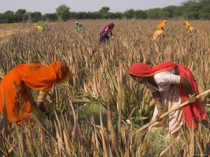 Women in Colourful Saris in a Field of Aloe Vera Preparing for Flood Irrigation, Village of Borunda by Eitan Simanor
