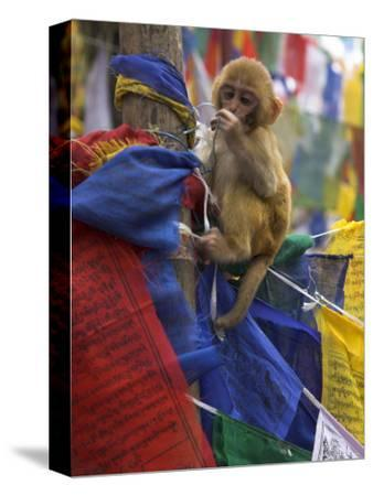 Young Monkey Sitting on Prayer Flags Tied on a Pole, Darjeeling, India