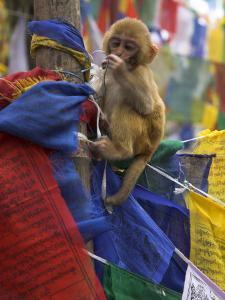Young Monkey Sitting on Prayer Flags Tied on a Pole, Darjeeling, India by Eitan Simanor
