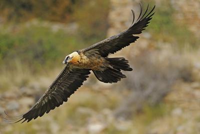 Lammergeier (Gypaetus Barbatus) in Flight, Serra De Beumort, Gerri De La Sal, Catalonia, Spain