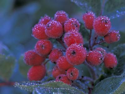 Elderberries Covered in Morning Dew, Mt. Rainier National Park, Washington, USA--Photographic Print