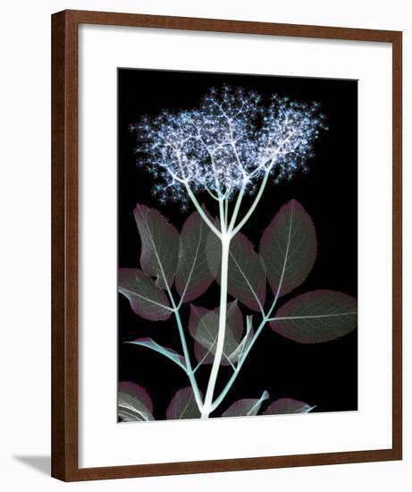 Elderflower Lumination-Hugh Turvey-Framed Giclee Print