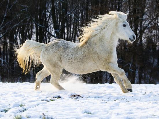 Elderly Welsh-Arab pony running on snow covered meadow-Frank Lukasseck-Photographic Print