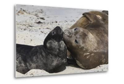 New Born Southern Elephant Seal (Mirounga Leonina) Pup with Mother