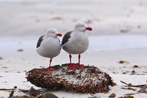 Pair of Dolphin Gulls (Leucophaeus Scoresbii) on a Seaweed Covered Rock by Eleanor Scriven