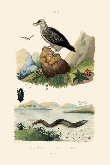 Electric Eel, 1833-39--Giclee Print