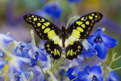 Electric Green Swallowtail Butterfly, Graphium Tyndereus-Darrell Gulin-Photographic Print