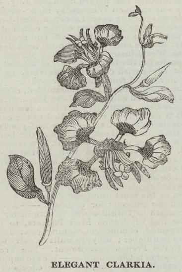 Elegant Clarkia--Giclee Print