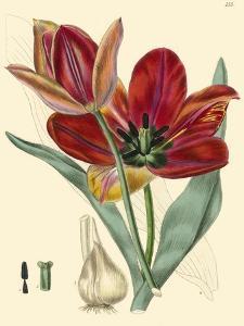 Elegant Tulips V