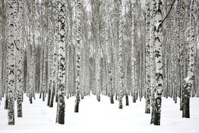 Winter Birch Forest by Elena Kovaleva