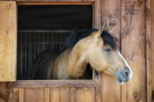 Curious Brown Horse Looking out Stable Window by elenathewise