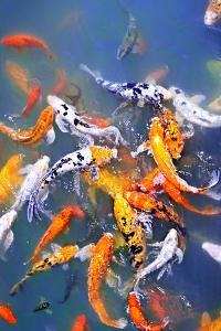 Koi Fish in Pond by elenathewise