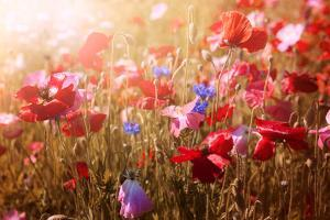 Red and Pink Poppies with Wildflowers in Sunny Summer Meadow by elenathewise