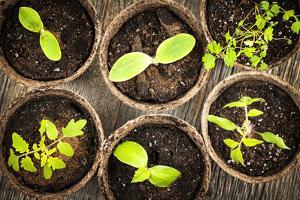 Seedlings Growing in Peat Moss Pots by elenathewise