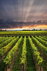 Vertical Panorama of Vineyard at Sunset in Niagara Peninsula, Ontario, Canada. by elenathewise