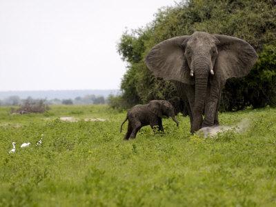 https://imgc.artprintimages.com/img/print/elephant-and-newly-born-calf-chobe-national-park-botswana-africa_u-l-p92yds0.jpg?p=0