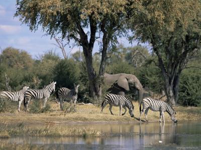 Elephant and Zebras at the Khwai River, Moremi Wildlife Reserve, Botswana, Africa-Thorsten Milse-Photographic Print