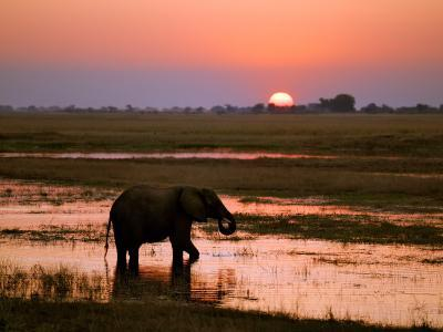 Elephant at Sunset on the Chobe River, Botswana-Nigel Pavitt-Photographic Print