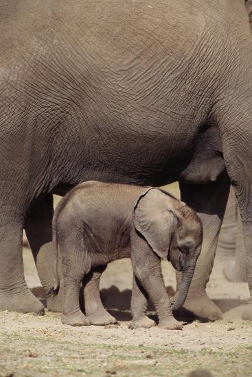 Elephant Baby by Mother-DLILLC-Photographic Print