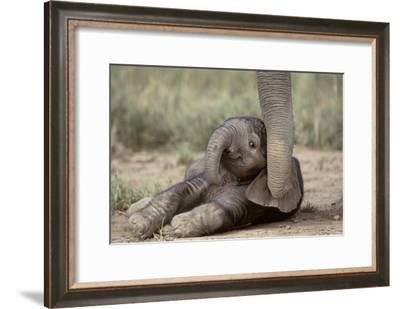 Elephant Baby Lying on Ground--Framed Photographic Print