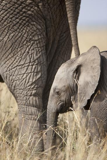 Elephant Calf Beside Adult in Masai Mara National Reserve-Paul Souders-Photographic Print