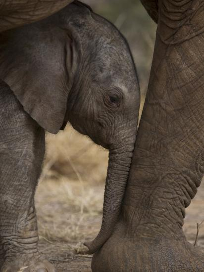 Elephant Calf Finds Shelter Amid its Mother's Legs-Michael Nichols-Photographic Print