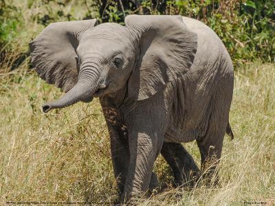 Elephant Calf Trumpet Full Bleed-Martin Fowkes-Giclee Print