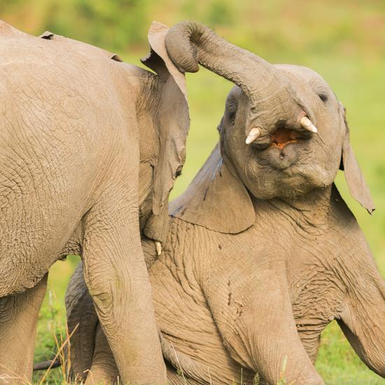 Elephant calves playing in the Masai Mara, Kenya, East Africa, Africa-Karen Deakin-Photographic Print