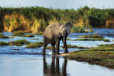 Elephant Crossing Okavango Delta River with Golden Grassland around It-Sheila Haddad-Photographic Print