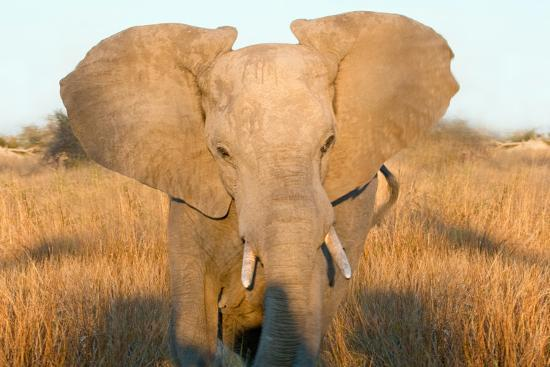 Elephant Ears Photographic Print Howard Ruby Art Com