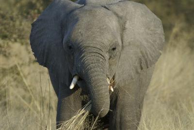 Elephant Eating Grasses, Upper Vumbura Plains, Botswana-Anne Keiser-Photographic Print