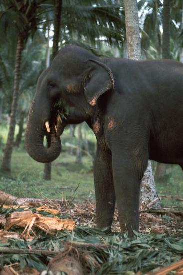 Elephant eating in Sri Lanka. Artist: CM Dixon Artist: Unknown-CM Dixon-Photographic Print