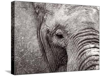 Elephant Face-Jamie Hodgson-Stretched Canvas Print