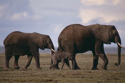 Elephant Family-DLILLC-Photographic Print