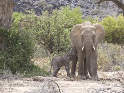 Elephant Feeding Her Newborn Calf-Michael Polzia-Photographic Print