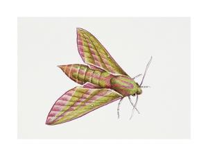 Elephant Hawk Moth (Deilephila Elpenor), Sphingidae. Artwork by Sandra Pond