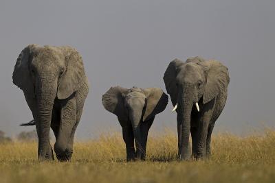 Elephant Herd Walking in Northern Botswana-Beverly Joubert-Photographic Print