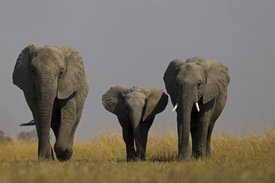 https://imgc.artprintimages.com/img/print/elephant-herd-walking-in-northern-botswana_u-l-pu6eaa0.jpg?p=0