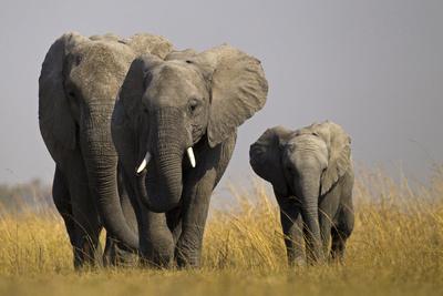https://imgc.artprintimages.com/img/print/elephant-herd-walking-in-northern-botswana_u-l-pu6qrg0.jpg?p=0