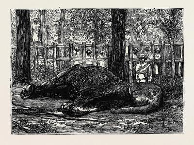 Elephant Hunting in Ceylon: Cow Elephant Secured in Corral--Giclee Print