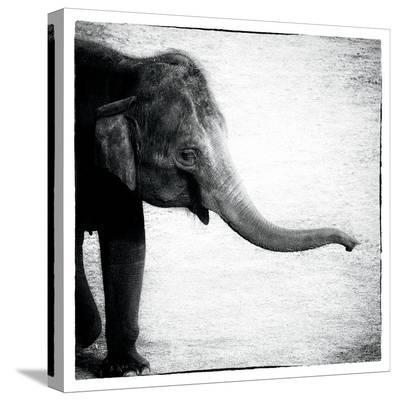 Elephant II-Debra Van Swearingen-Stretched Canvas Print