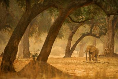 Elephant in Forest Landscape-Albie Venter-Photographic Print