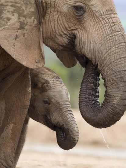 Elephant (Loxodonta Africana) and Baby, Addo Elephant National Park, Eastern Cape, South Africa-Ann & Steve Toon-Photographic Print