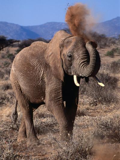 Elephant (Loxodonta Africana) Dust Bathing, Samburu National Reserve, Rift Valley, Kenya-Mitch Reardon-Photographic Print