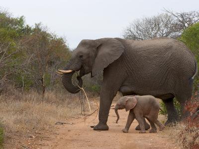 Elephant (Loxodonta Africana), Kapama Game Reserve, South Africa, Africa-Sergio Pitamitz-Photographic Print
